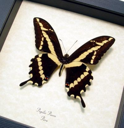 Papilio paeon Striped Swallowtail Real Framed Butterfly