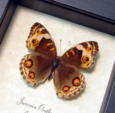 Junonia orithya Female Blue Pansey Real Framed Butterfly