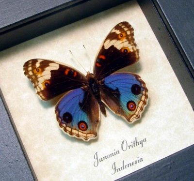 Junonia orithya Male Blue Pansy Real Framed Butterfly