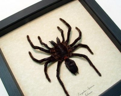 Eurypelma spinicrus large Real Framed Tarantula Spider
