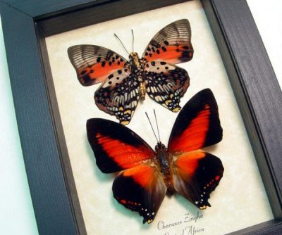 Charaxes zingha Set Shining Red Charaxes Real Framed African Butterflies