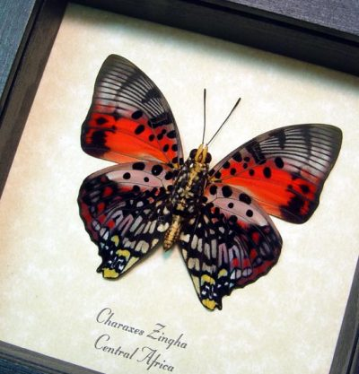 Charaxes zingha Verso Shining Red Charaxes Real Framed African Butterfly