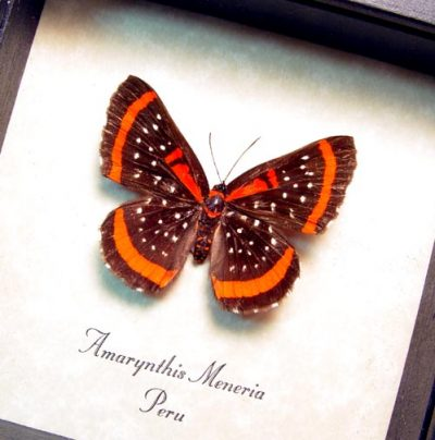 Amarynthis meneria The Meneria Metalmark Real Framed Red Stripes Butterfly