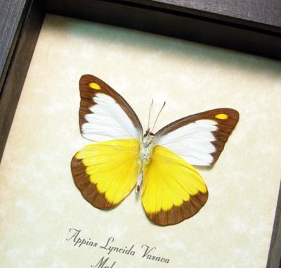 Appias lyncida vasava Chocolate Albatross Real Framed Yellow Butterfly