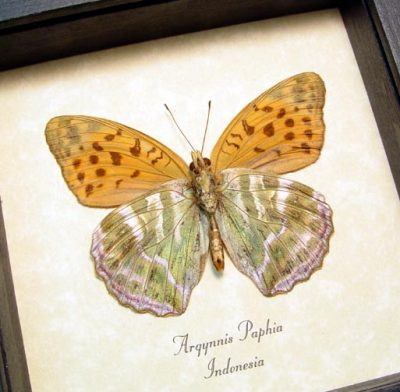 Argynnis paphia Silver Washed Fritillary Real Framed Leaf Mimic Butterfly