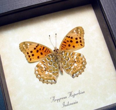 Argyreus hyberbius Male Indian Fritillary Real Rare Framed Butterfly