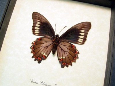 Battus polydamas lucayus Verso Gold Rim Swallowtail Real Framed Green Butterfly
