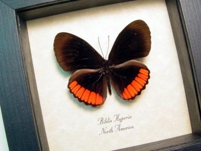 Biblis hyperia The Red Rim Crimson Banded Black Real Framed Red Butterfly