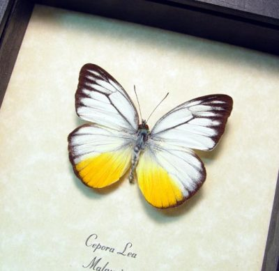 Cepora lea Real Framed White Yellow Malaysia Real Framed Butterfly