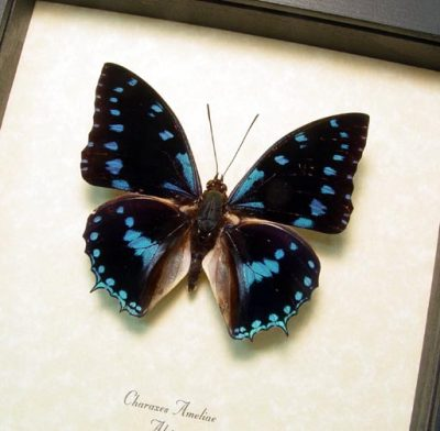 Charaxes ameliae Blue Spotted Charaxes Real Framed Butterfly