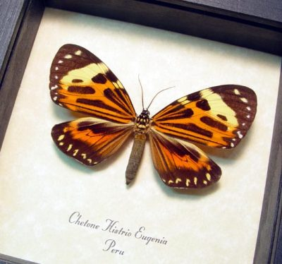 Chetone histrio eugenia Real Framed Day Flying Moth