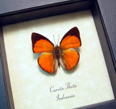 Curetis thetis Indian Sunbeam Real Framed Orange Butterfly