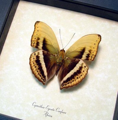 Cymothoe egesta confusa African Safari Yellow Glider Real Framed Butterfly