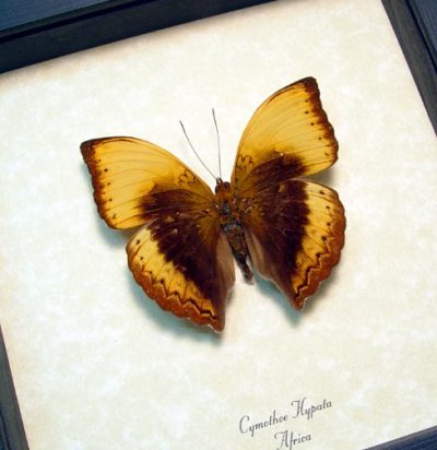 Cymothoe hypata Large Rare Lurid Glider Real Framed Butterfly