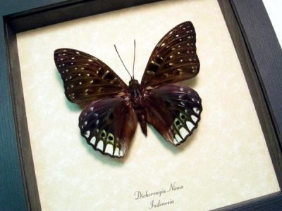 Dichorragia ninus Large Green Real Framed Indonesia Butterfly