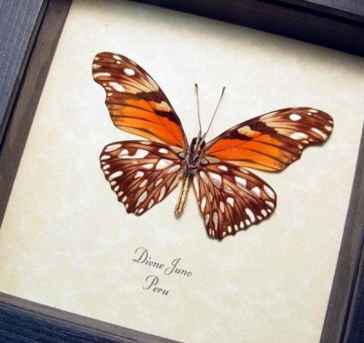 Dione Juno The Juno Silverspot Metallic Silver spots Real Framed Orange Butterfly