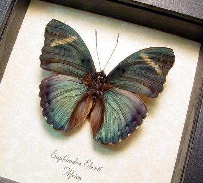 Euphaedra eberti Real Framed Blue Green Forester Butterfly