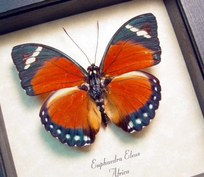 Euphaedra eleus Orange Forester Rare Colorful African Real Framed Butterfly
