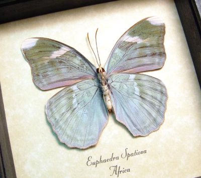 Euphaedra spatiosa Green Forester Real Framed African Butterfly
