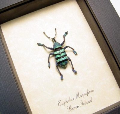 Eupholus magnificus Real Framed Green Purple Banded Snout Weevil Beetle