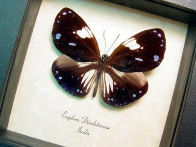 Euploea diocletianus Magpie Crow Real Framed Purple Butterfly
