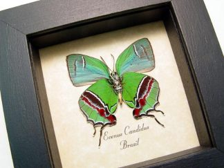 Green Butterflies & Insects