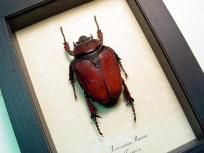Fornasinius russus female Rare Rusty Red Real Framed Beetle