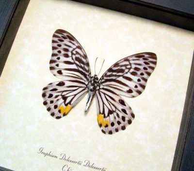 Graphium delessertii Malayan Zebra Real Framed Butterfly