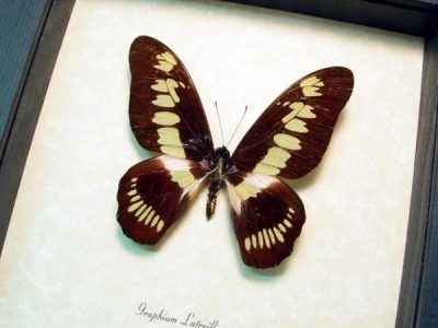 Graphium latreillianus Coppery Swordtail Real Framed Butterfly