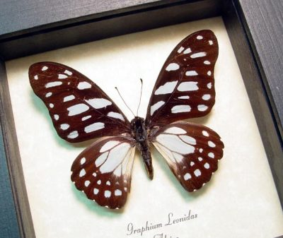 Graphium leonidas Veined Swordtail Real Framed African Butterfly