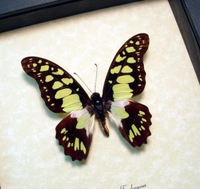 Graphium tynderaeus Electric Green Swordtail Real Framed Butterfly