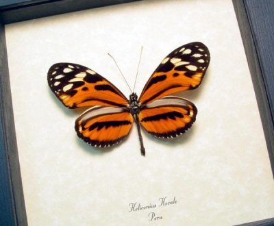 Heliconius hecale The Tiger Longwing Real Framed Butterfly