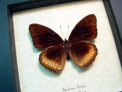 Hypolimnas antilope Spotted Crow Eggfly Real Framed Butterfly