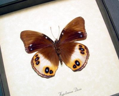 Hypolimnas deois Colorful Eyespots Real Framed Butterfly