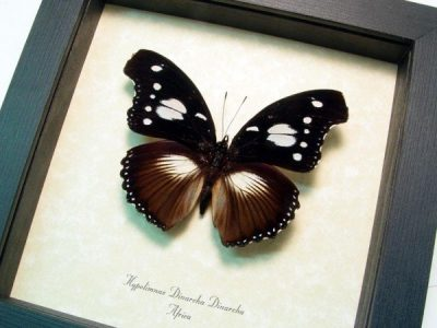 Hypolimnas dinarcha dinarcha Rare African Real Framed Butterfly