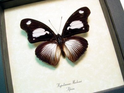Hypolimnas mechowi Real Rare Dramatic Rays Framed African Butterfly
