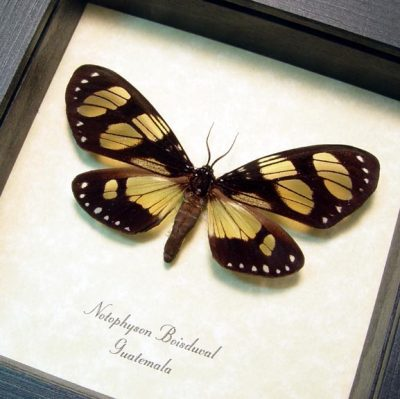 Notophyson boisduval Real Framed Clear Winged Day Flying Moth