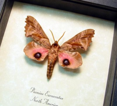 Paonias excaecatus Blinded Sphinx Real Framed Moth