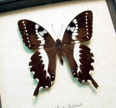Papilio delalandei Madagascar Rare Swallowtail Real Framed Butterfly