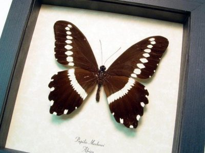 Papilio mechowi Narrow Banded Swallowtail Real Framed Butterfly
