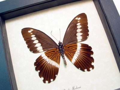 Papilio mechowi verso Narrow Banded Swallowtail Real Framed Butterfly