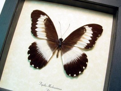 Papilio mechowianus Wide Banded Swallowtail Real Framed Butterfly