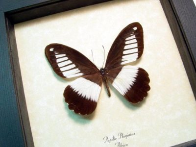 Papilio plagiatus Mountain Mimetic Swallowtail Real Framed Butterfly