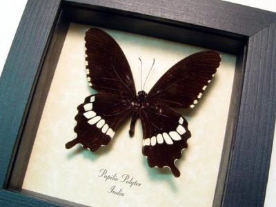 Papilio polytes Common Mormon Real Framed Butterfly