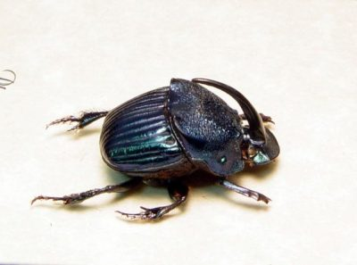 Phanaeus amethystinus Male Real Framed Metallic Dung Scarab Beetle