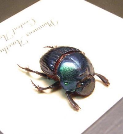 Phanaeus amethystinus female Real Framed Metallic Dung Scarab Beetle