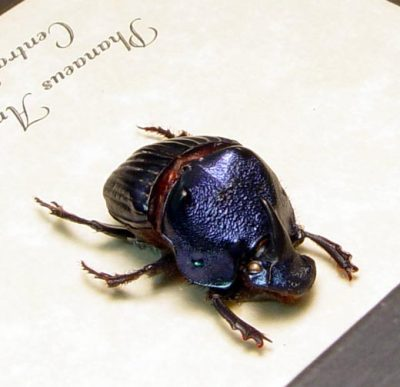 Phanaeus amethystinus juvenile male Real Framed Metallic Dung Scarab Beetle
