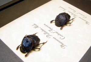 phanaeus-palliatus-pair-2