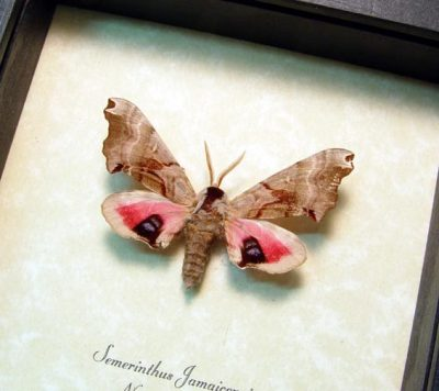 Smerinthus jamaicensis One Eyed Sphinx Real Framed Pink Moth