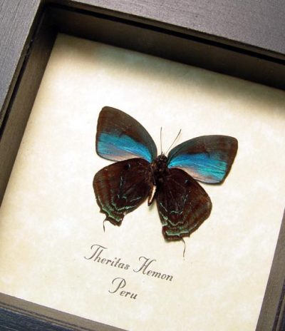 Theritas hemon Metallic Blue Peru Real Framed Butterfly